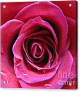 Blushing Pink Rose 3 Acrylic Print