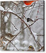 Blushing Red Cardinal In The Snow Acrylic Print