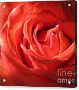 Blushing Orange Rose 1 Acrylic Print