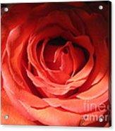 Blushing Orange Rose 3 Acrylic Print