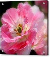 Blushing Spring Tulip Acrylic Print