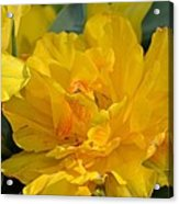 Blushing Yellow Acrylic Print