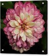 Blushing Zennia Acrylic Print