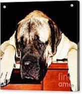 Mastiff Art By Sharon Cummings Acrylic Print