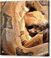 Boa Constrictor Acrylic Print