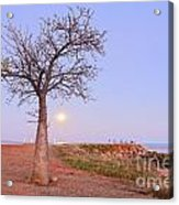 Boab Tree And Moonrise At Broome Western Australia Acrylic Print by Colin and Linda McKie