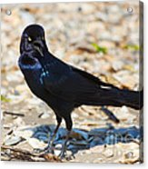 Boat-tailed Grackle Acrylic Print