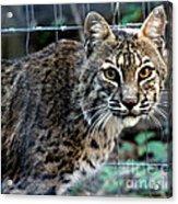 Bobcat Beauty Acrylic Print