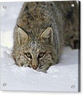 Bobcat Crouching In Snow Colorado Acrylic Print