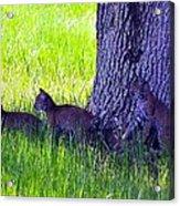 Bobcat Cubs Acrylic Print by Diana Berkofsky