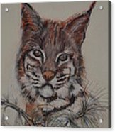Bobcat Acrylic Print by Dorothy Campbell Therrien
