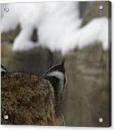Bobcat Ears Acrylic Print by Teresa Schomig