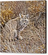 Bobcat In Brush Acrylic Print