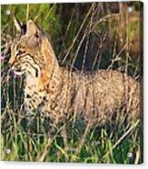 Bobcat In The Grass Acrylic Print