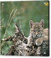 Bobcat Kitten Resting On A Log Idaho Acrylic Print