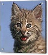 Bobcat Kitten Acrylic Print by Tim Fitzharris