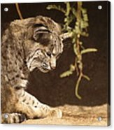 Bobcat Acrylic Print by James Peterson