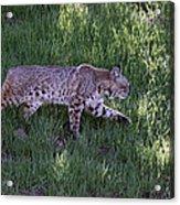 Bobcat On The Move Acrylic Print