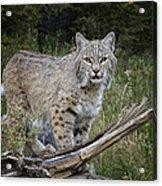 Bobcat On The Prowl Acrylic Print
