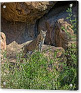 Bobcat Point Acrylic Print
