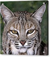 Bobcat Portrait Wildlife Rescue Acrylic Print