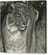 Bobcat Emerging Acrylic Print