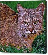 Bobcat Sedona Wilderness Acrylic Print