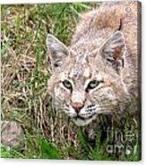 Bobcat Stalking Acrylic Print by Sylvie Bouchard
