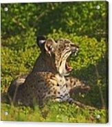 Bobcat Yawn Acrylic Print