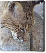 Bobcat2 Acrylic Print