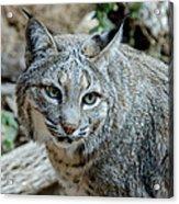 Bobcat's Gaze Acrylic Print