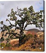 Bobcats Tree Acrylic Print