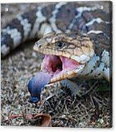 Bobtail Lizard Acrylic Print