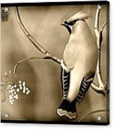 Bohemian Waxwing In Sepia Acrylic Print