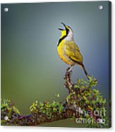 Bokmakierie Bird - Telophorus Zeylonus Acrylic Print by Johan Swanepoel