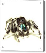 Bold Jumping Spider Acrylic Print by Walter Klockers
