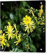 Bold Yellow Flowers Acrylic Print by Jason Brow
