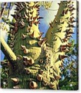 Bombacaceae - Floss Silk Tree - Chorisia Speciosa Hawaii Acrylic Print