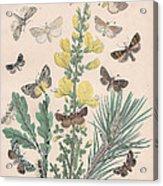 Bombycoidae - Acronyctidae - Orthosidae Acrylic Print