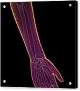 Bones Of The Lower Arm Acrylic Print