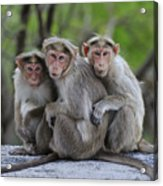 Bonnet Macaque Trio Huddling India Acrylic Print