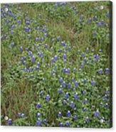 Bonnets In Blue Acrylic Print by Paulette Maffucci