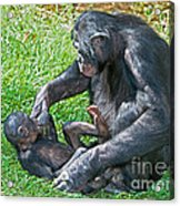 Bonobo Adult Playing With Baby Acrylic Print