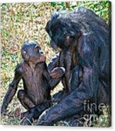 Bonobo Adult Talking To Juvenile Acrylic Print