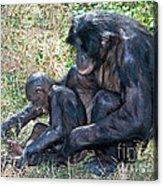 Bonobo Adult Tickeling Juvenile Acrylic Print