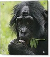 Bonobo Eating Acrylic Print