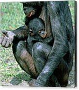Bonobo Pan Paniscus Nursing Acrylic Print