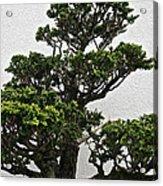 Bonsai Pine Acrylic Print