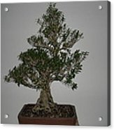 bonsai tree Serissa Foetida live tree art exposed root over rock Acrylic Print