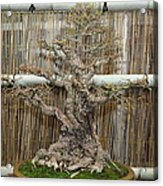 Bonsai Treet - Us Botanic Garden - 01136 Acrylic Print by DC Photographer